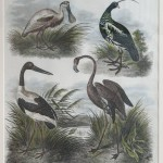 Waterbirds Engraving